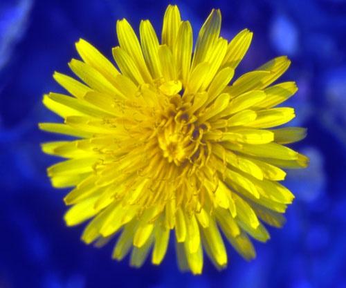 Dandelion by saxon_image