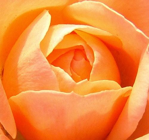 Rose bloom by raziel_uk