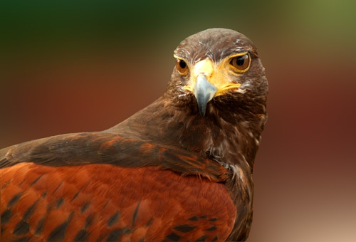 Harris Hawk by echino