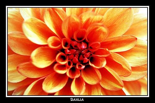 Dahlia by alison duckett