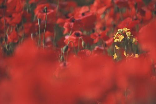 Poppies & Rape by davemo