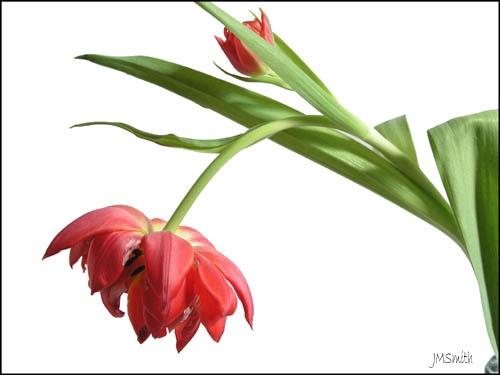 Tulips by janehewitt