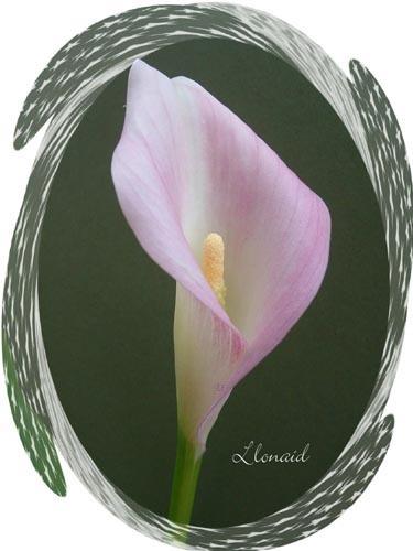 Arum Lily by llonaid
