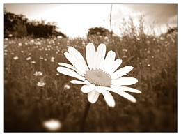 Daisy Daisy....