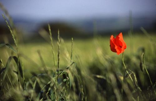 Lonesome Poppy by dannyg