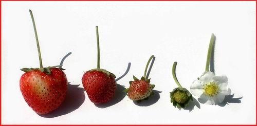 Strawberries by dani2