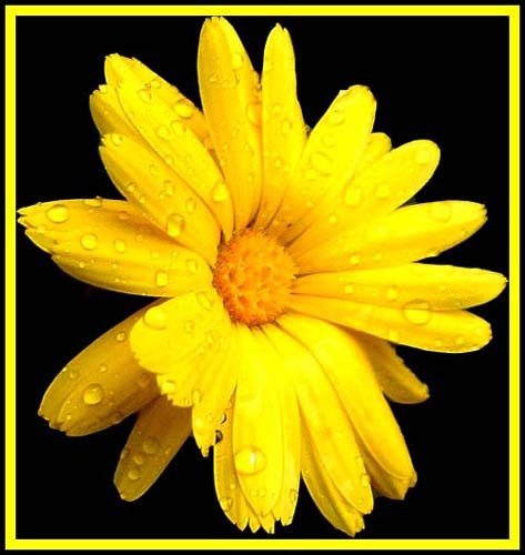 Marigold by bfot01