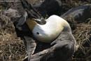 Grey Albatros