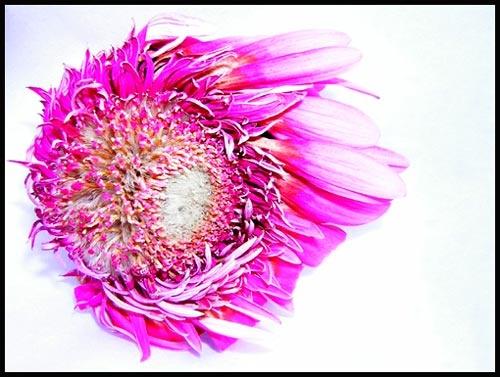 Pink! by eskimo