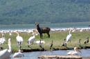 1 Milliion Pelicans, Lake Naivasha