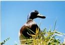 Overpowering duck