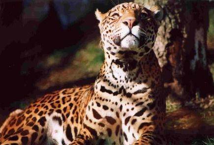 Alert Jaguar by Baz Hilder