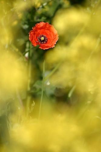Poppy in Rape by BigCol