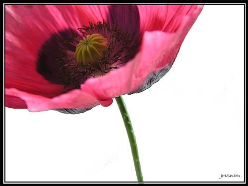 Poppy by janehewitt