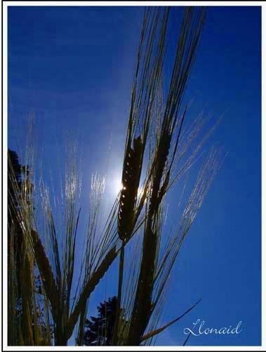 Barley Ears by llonaid