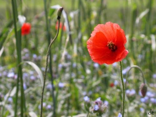 poppy by tandav