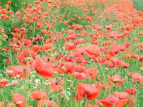 Poppies galore by yidthekid