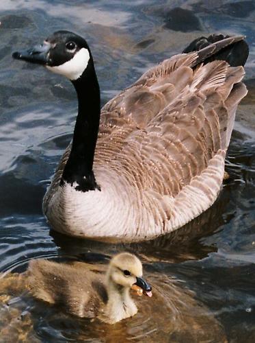 Canada Goose Family 1 by taso