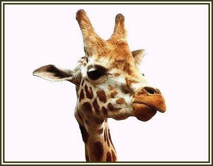 Giraffe (obviously!) by melliemel