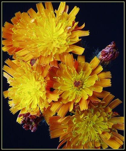 Tango Flower by devongirl