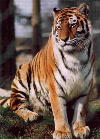 Tiger Portrait by Baz Hilder