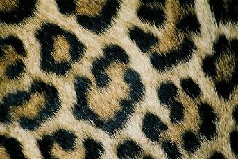 Leopard print by Baz Hilder