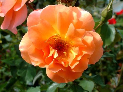 Orange Rose by G3