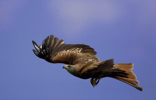 Female Red Kite by Denise