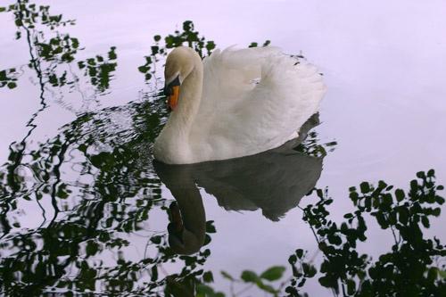 swan lake by s males