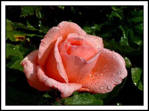 Summer Rose by alison duckett