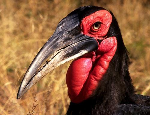 African Hornbill by joggievs