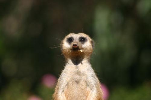Meerkat lookout by liparig