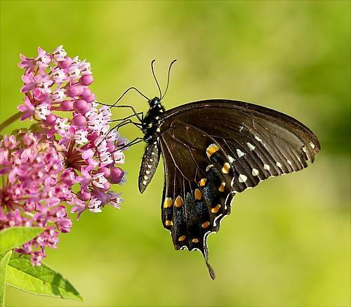 Feeding Swallowtail by drlesser