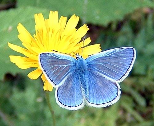 Blue Butterfly by fieldperson