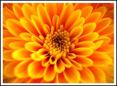 Chrysanthemum by vivo