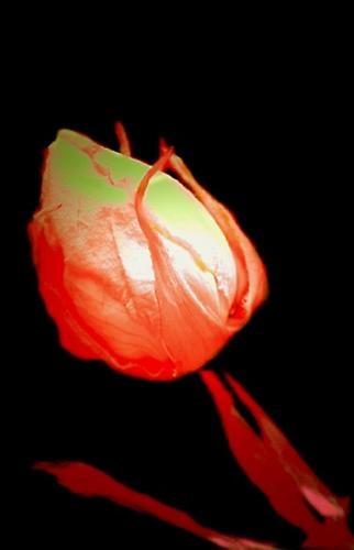 GLOW ROSE by exposure