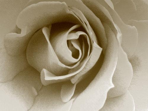 Rose by exposure