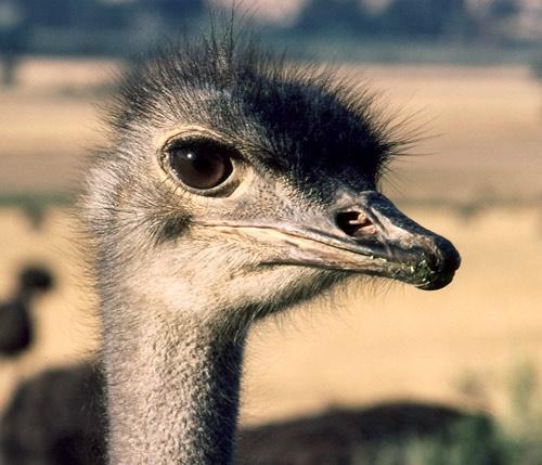 Ostrich portrait by joggievs