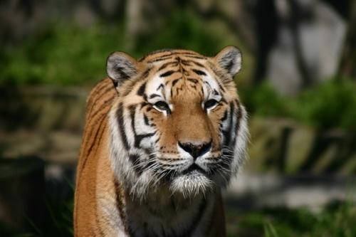 Tiger at San Francisco Zoo by liparig