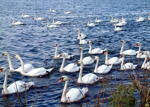 Swan Lake by michelle70