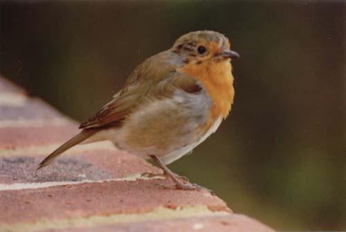 Robin by tabby