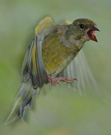Greenfinch by phiggy