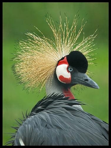 African Crowned Crane by Miles Herbert