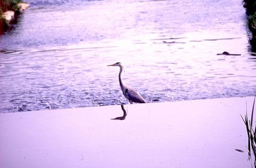 Heron Reflecting by Ralph