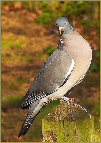 Wood Pidgeon by davidbailie