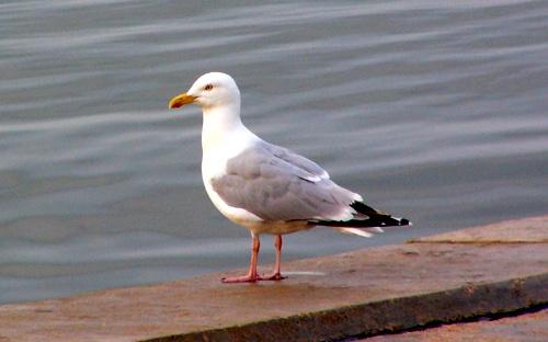 gull by cal9