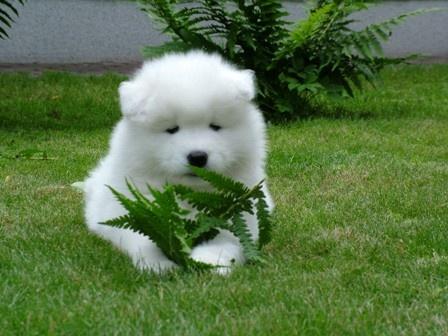 white puppy by haana