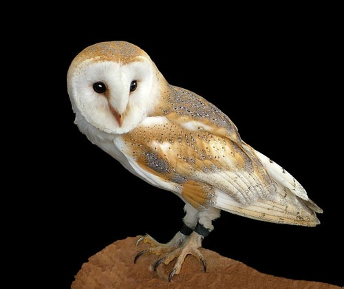 Owl by amps