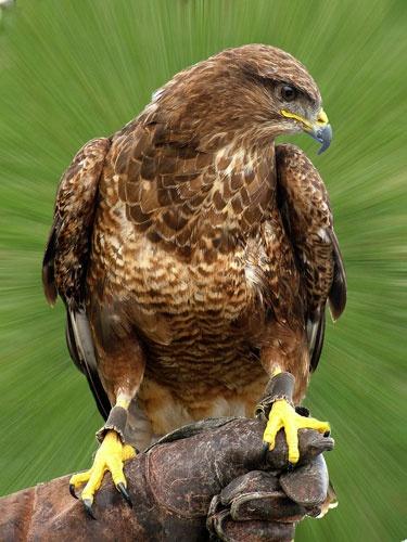 "Falcon \""Bird of Pray\"" by amps"