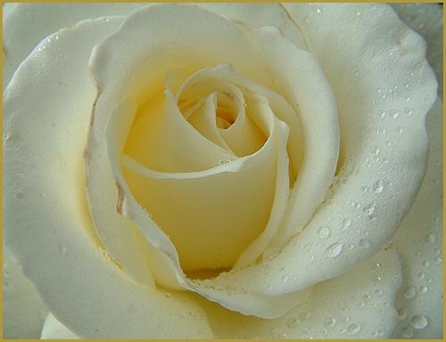 White Rose by alison duckett